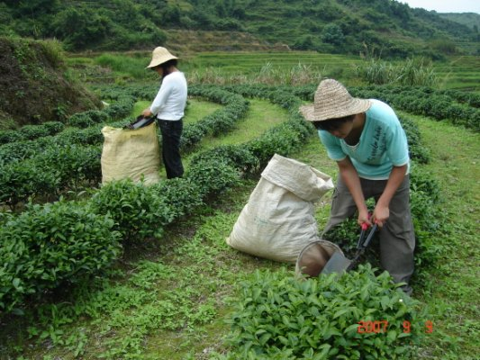 茶摘み労働